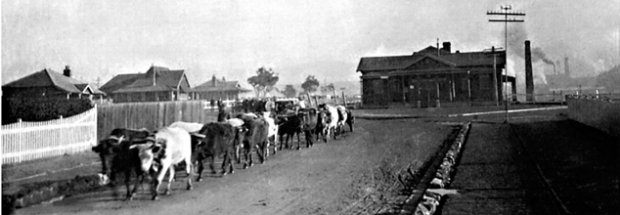 Sulphide Bullock Team - 1897